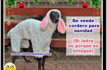 Se vende cordero para navidad, a veces ladra, es porque es bilingüe - Chistes navideños