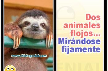Dos animales flojos mirándose fijamente - Chistes de animales